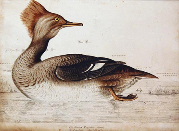 The Hooded Merganser (1835) - William Pope